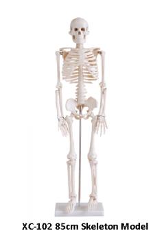 Анатомия. Скелет Большой 85 см.