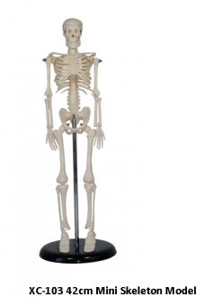 Анатомия. Скелет Малый 42 см.
