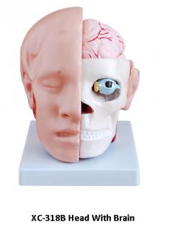 Анатомия. Голова с мозгами